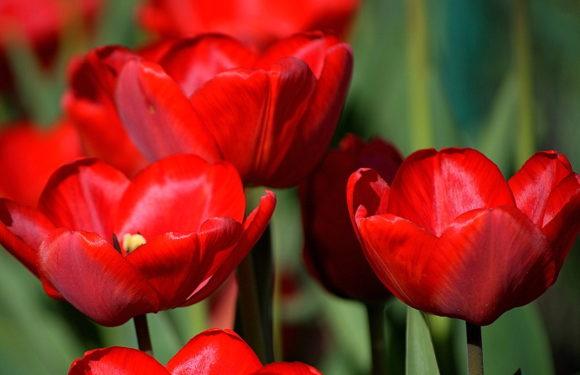 Ямпіль милує око різнобарв'ям тюльпанів