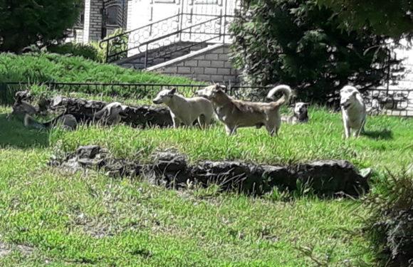 Ямпільчани скаржаться на зграю собак, що тероризує селище